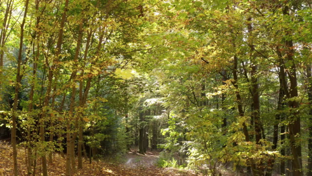 moving through deciduous autumn forest - deciduous tree stock videos & royalty-free footage