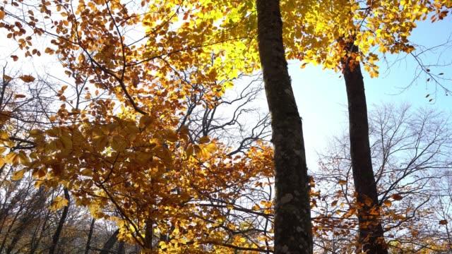 vídeos de stock, filmes e b-roll de 4k movendo-se através da floresta decíduca no outono - baixo posição