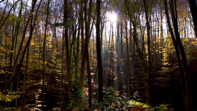 4k moving through deciduous forest in autumn - deciduous tree stock videos & royalty-free footage