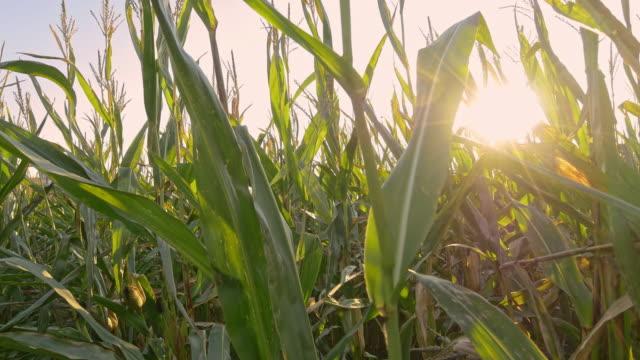 Bewegung durch Feld Mais Pflanzen