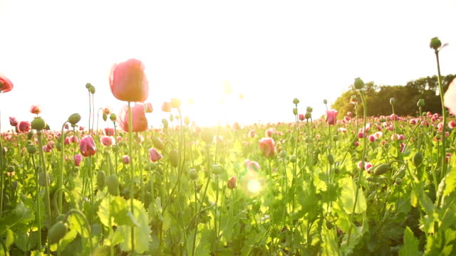 hd super slow mo: moving through poppies - back lit flower stock videos & royalty-free footage