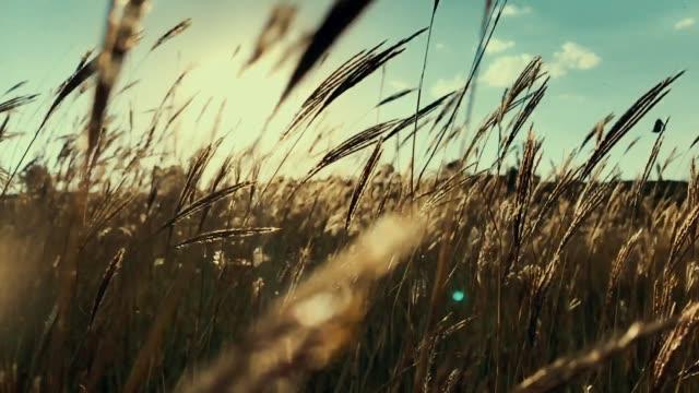 moving through the golden broom grass - orzo video stock e b–roll
