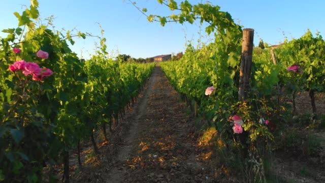vídeos de stock e filmes b-roll de moving through the vineyard in 4k, chianti, tuscany, italy - vinha