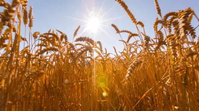 pov moving through wheat field, steady cam - cereal plant stock videos & royalty-free footage