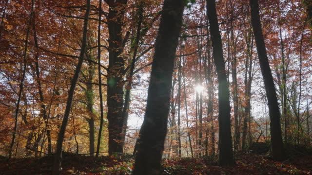 vídeos de stock, filmes e b-roll de vídeo movente de árvores de faia escuras no outono - faia árvore de folha caduca