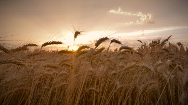 Moving_Wheat_Field_4K