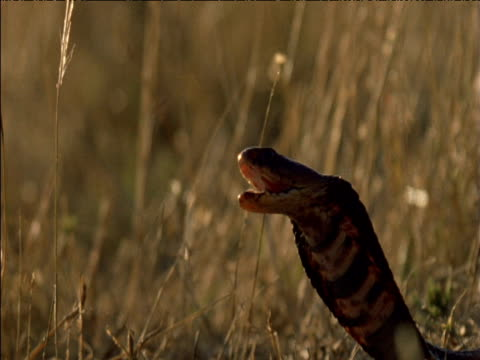 mozambique spitting cobra in threat posture, then spits venom, south africa - spitting stock videos & royalty-free footage