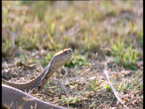 mozambique spitting cobra spits at stick - spitting stock videos & royalty-free footage