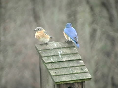 mr and mrs bluebird - female animal stock videos & royalty-free footage