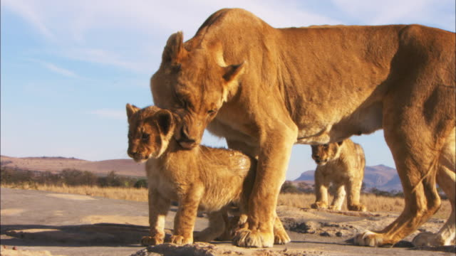 Ms African lioness stands over cub and grooms on rock