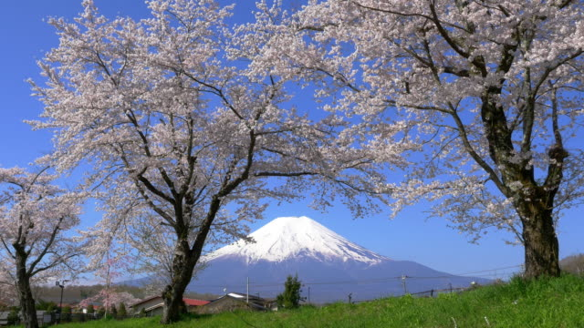 mt fuji and cherry blossom - 10 seconds or greater stock videos & royalty-free footage