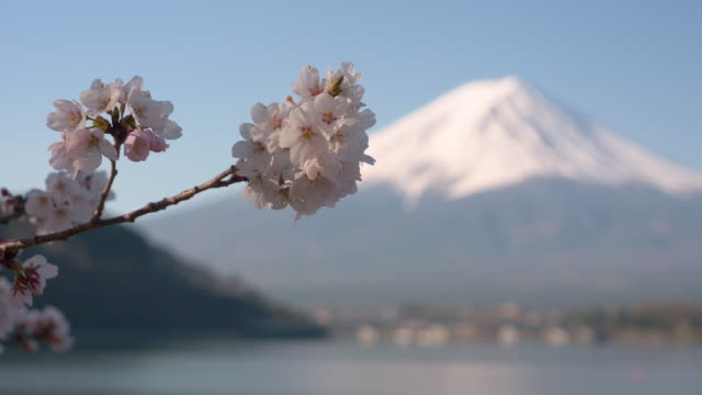 mt. fuji and cherry blossoms at lake kawaguchi (focus in) - 各国の観光地点の映像素材/bロール