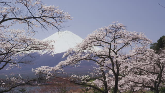 mt. fuji and cherry blossoms - 2013 stock videos and b-roll footage