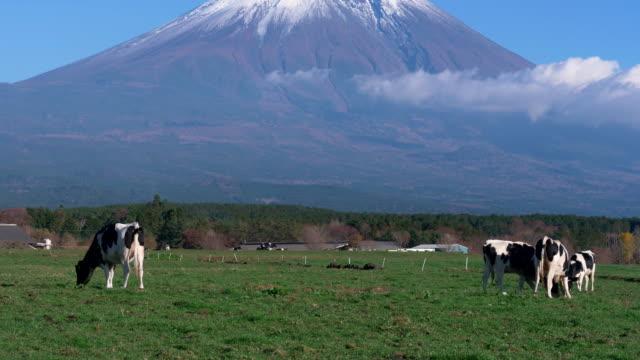mt. fuji and holstein cows at asagiri plateau (tilt up) - 乳製品工場点の映像素材/bロール