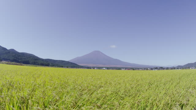 Mt. Fuji behind rice paddy