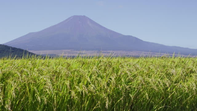 mt. fuji behind rice paddy - モミ点の映像素材/bロール
