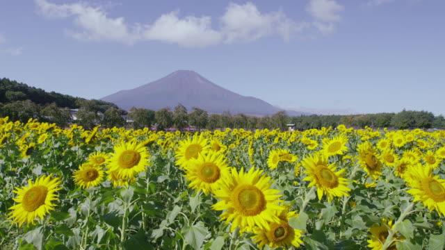 Mt. Fuji behind sunflower field