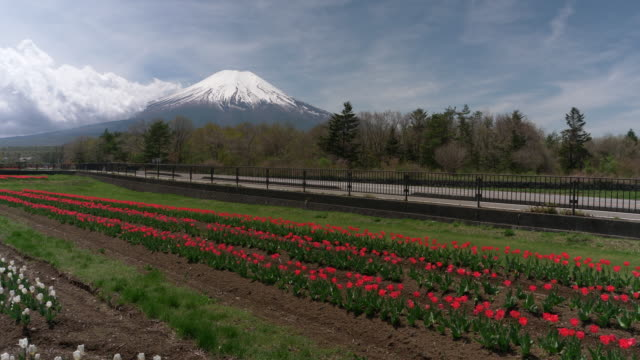 mt. fuji over a field of red tulip flowers - jp201806 stock videos and b-roll footage