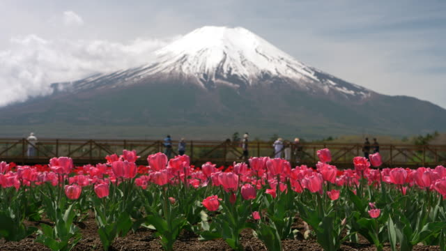 mt. fuji over a pink tulip flowers - jp201806 stock videos and b-roll footage