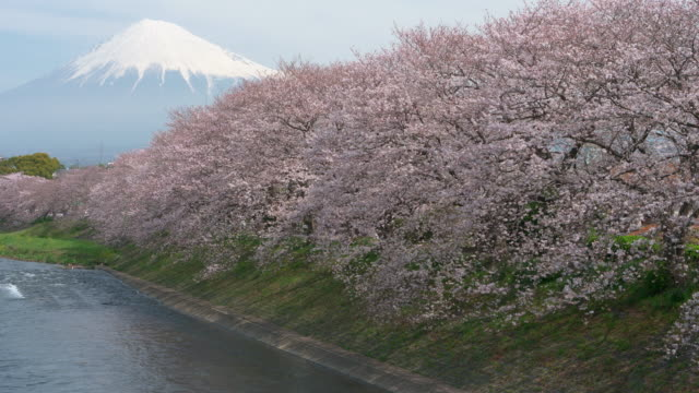 mt. fuji over cherry blossoms - cherry tree stock videos & royalty-free footage