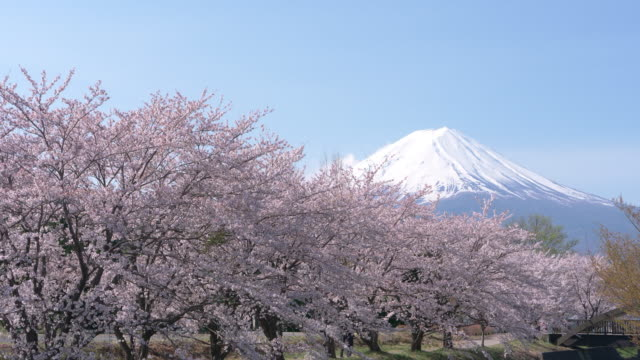 mt. fuji over cherry blossoms - cherry blossom stock videos & royalty-free footage