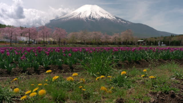mt. fuji over dandelion and tulip blossoms - jp201806 stock videos and b-roll footage
