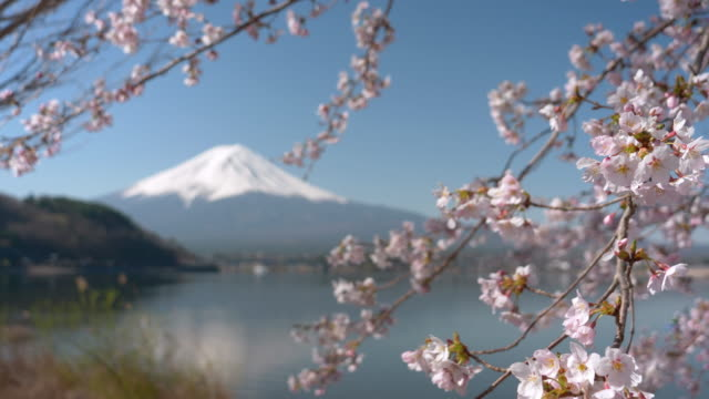 mt. fuji over lake kawaguchi and cherry blossoms (rack focus) - mt fuji stock videos & royalty-free footage