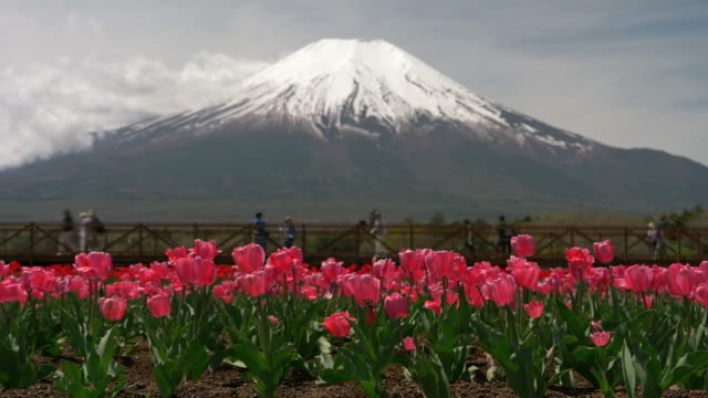 mt. fuji over pink tulip blossoms - jp201806 stock videos and b-roll footage