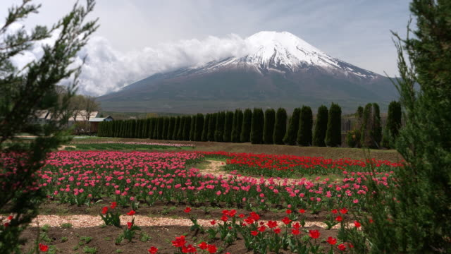 mt. fuji over tulip flowers - jp201806 stock videos and b-roll footage