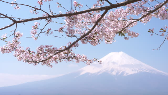 mt. fuji under cherry blossoms - jp201806 stock videos and b-roll footage