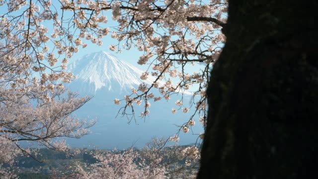 mt. fuji with cherry blossoms on a sunny spring day (rack focusing) - 四月点の映像素材/bロール