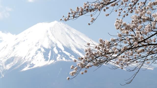 mt. fuji with cherry blossoms - 山梨県点の映像素材/bロール