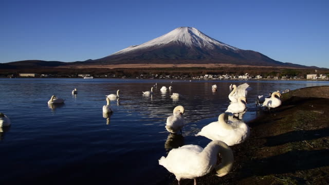 mt. fuji with swans - mute swan stock videos & royalty-free footage