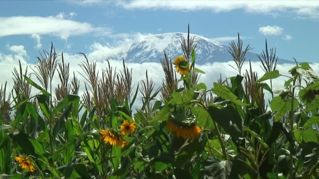 ws mt. kilimanjaro and sunflowers / arusha, tanzania - mt kilimanjaro stock videos & royalty-free footage