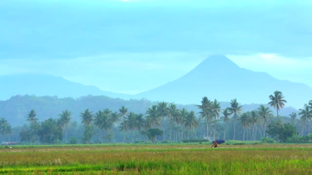 vidéos et rushes de mt merapi behind farmer working rice fields java - cereal plant