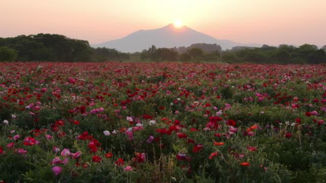 mt tsukuba and popy sunrise - poppy plant stock videos and b-roll footage