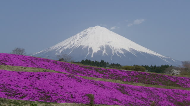 mt.fuji and moss phlox in japan - shizuoka prefecture stock videos and b-roll footage