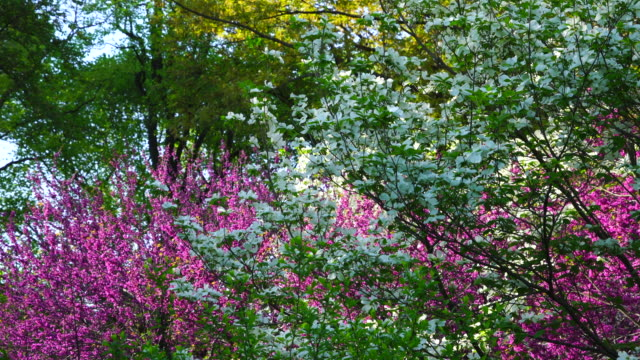 stockvideo's en b-roll-footage met much kind of spring flowers is blooming at central park new york ny usa on may 09 2018. - twijg
