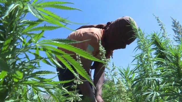 stockvideo's en b-roll-footage met muchos cultivadores de marihuana en libano se oponen a que el gobierno legalice el cannabis con fines terapeuticos - agricultura