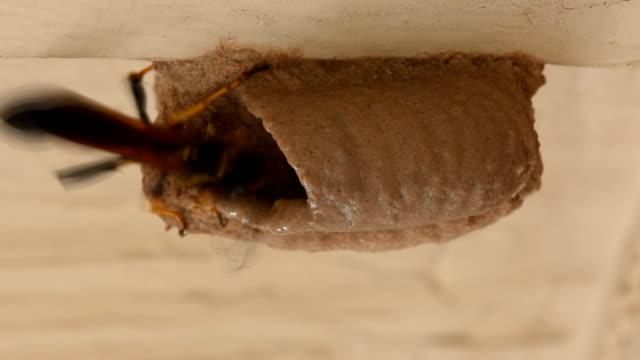 Mud Dauber wasp building tube for larva