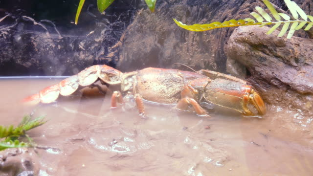mud lobster. - lobster stock videos & royalty-free footage