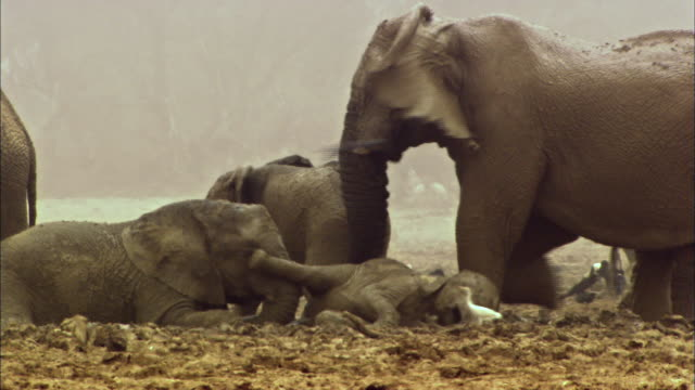 mudbathing elephant family - young animal stock videos & royalty-free footage