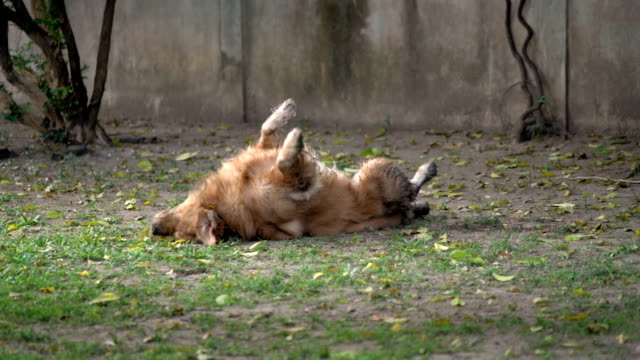 slomo mud-covered male golden retriever rolling on grass yard - mud stock videos & royalty-free footage