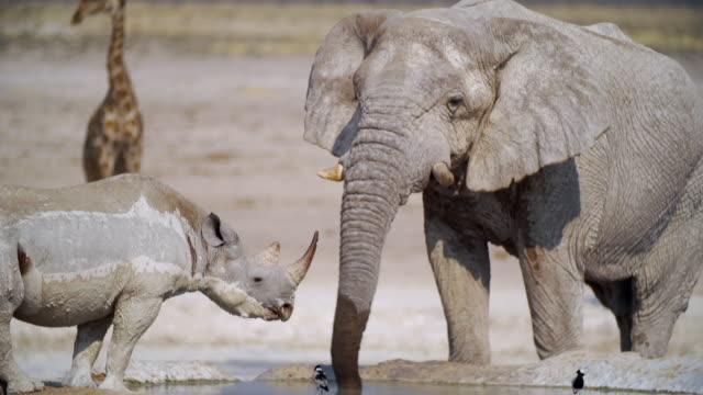 ws muddy black rhinoceros, african elephant and giraffes in savannah / etosha national park, namibia - rhinoceros stock videos & royalty-free footage