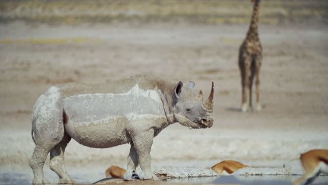 WS Muddy Black Rhinoceros in savannah / Etosha National Park, Namibia