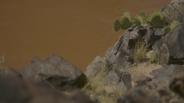 muddy water passes cacti on rocks in the grand canyon, arizona, usa. - cactus video stock e b–roll