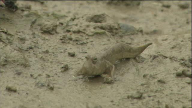 a mudskipper crawls in mud of the tidal flats of kochi, japan. - mudskipper stock videos and b-roll footage