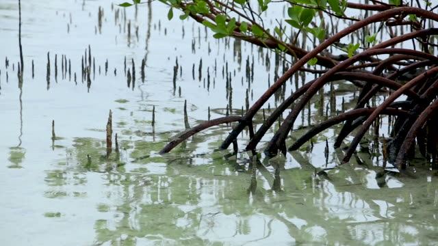 mudskipper in mangrove, extreme wide - isole del pacifico video stock e b–roll