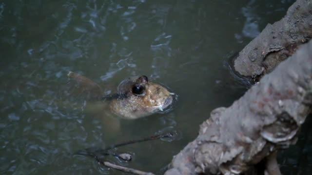 mudskipper in mangrove forest - mudskipper stock videos and b-roll footage