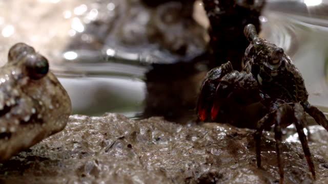 mudskipper lunges past crab after standoff - mudskipper stock videos and b-roll footage